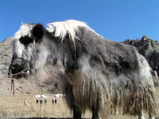 Russia, Mongolia and China - Mongolia yak Pictures, Images and Photos