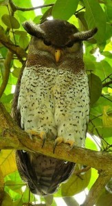 Today's muse: a barred eagle owl