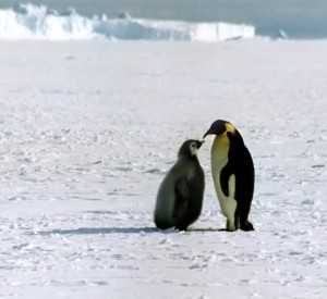 None of this is as stressful as holding your child on your feet all winter while you don't eat anything and your wife has gone off to hunt in the frigid Arctic waters where killer whales and sea lions may eat her at any moment, but still. (Credit: Wikimedia Commons)