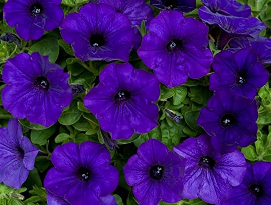 revolutionary petunias Revolutionary petunias: and other poems (adobe epub ebook, overdrive read.