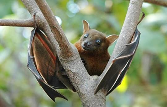Lesser Short-nosed Fruit Bat. Photo by Anton Croos via Wikimedia Commons.