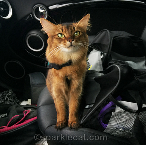 somali cat wearing therapy cat vest