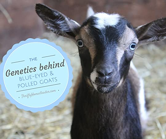 polled goats