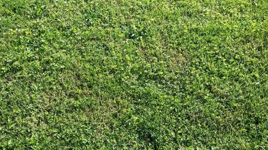 Recently cut grass sprinkled through with clover