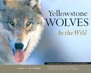 Yellowstone Wolves in the Wild  by  James C. Halfpenny