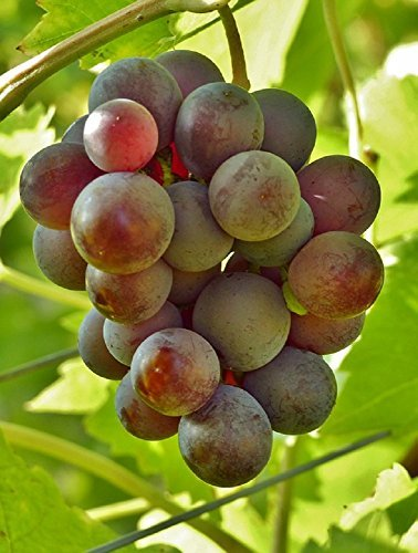 Grapes: Everything you need to know Dale Waller