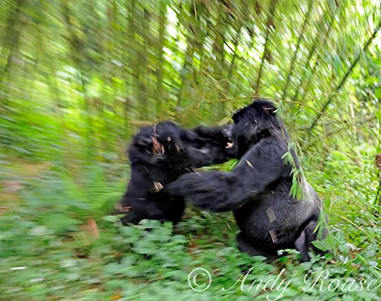 Gorilla Silverback fight Pictures, Images and Photos