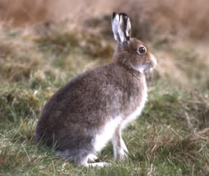 Skelter is cooler than this blue mountain hare but you get the gist
