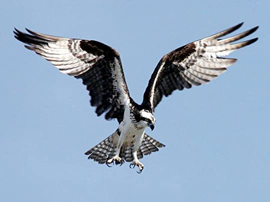 Osprey from National Geographic