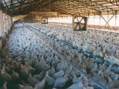 Chicken processing plant