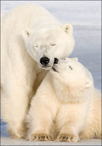 polar bears photo: Polar Bears polar.jpg