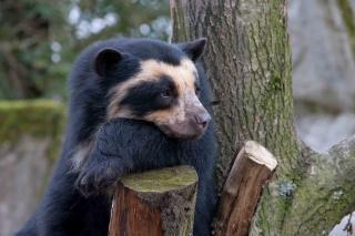 photo SpectacledBear5_zpsb63f08a1.jpg