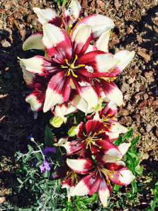 Oriental Lily blooms