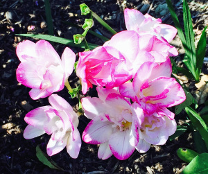 pink-tipped freesia blossoms