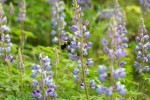 Our lupine bed