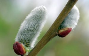 pussy-willow-hats