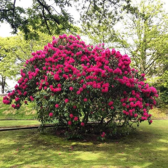 Rhododendron in Glasgow