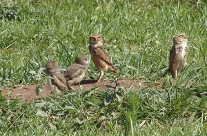 A family of burrowing owls.