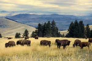 Bison herd grazing at the National Bison Range in Montana