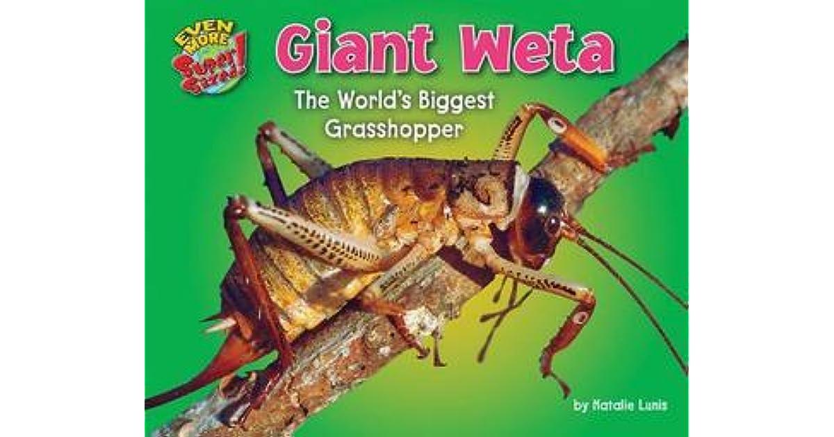 Giant Weta The Worlds Biggest Grasshopper By Natalie Lunis