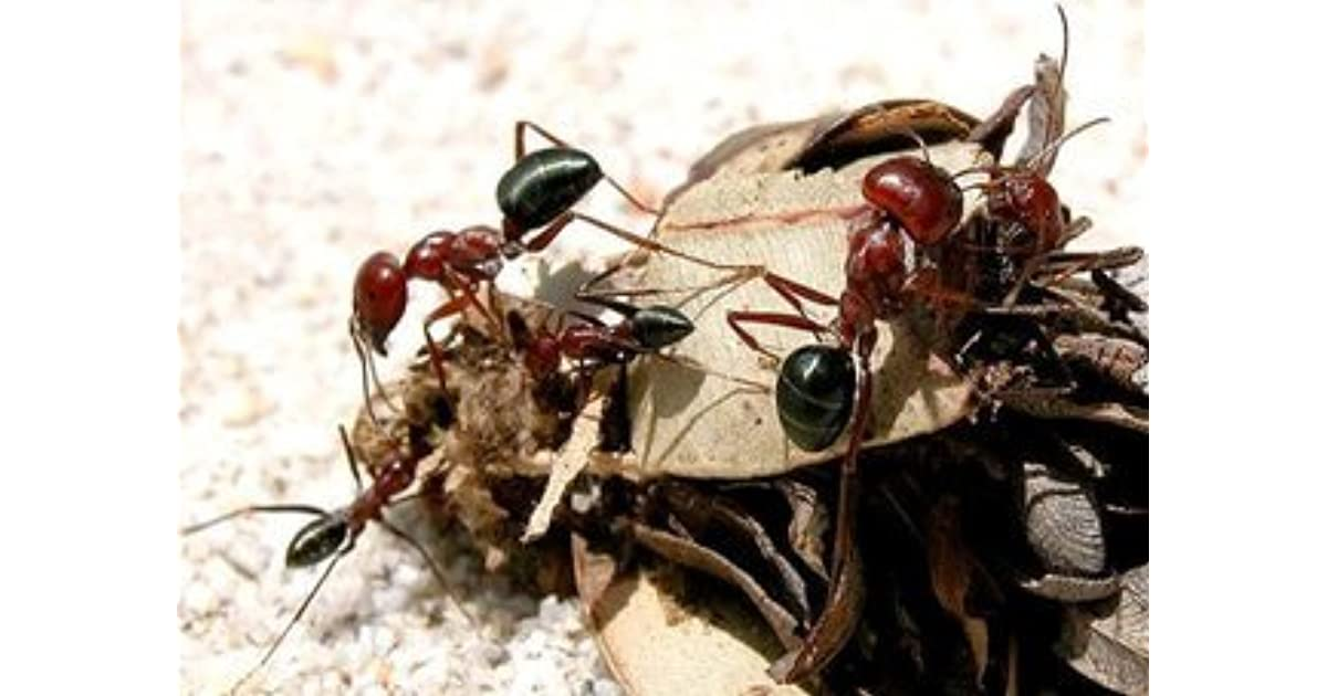 the ant is a mindless worker Some worker ants are soldiers they defend the colony and fight off their enemies (other ants or other kinds of insects) worker ants dig tunnels and chambers, or rooms, in the soil as the colony grows, workers add more tunnels and chambers to the nest.