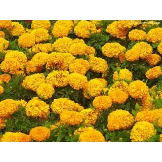 marigolds by eugenia collier lizabeth As an adult, lizabeth realizes that at fourteen, she had had an epiphany about why miss lottie planted marigolds lizabeth explains that her innocence was lost at the very moment she discerned the.