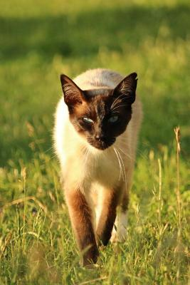 Siamese Cat Stalking You Journal: 150 Page Lined Notebook/Diary NOT A BOOK