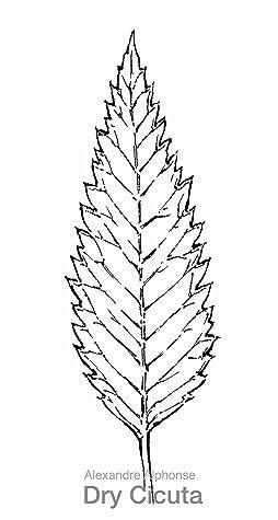 Dry Cicuta
