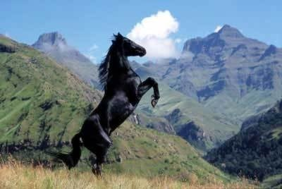 black stallion Pictures, Images and Photos