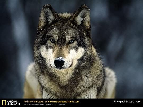 GREY WOLF Pictures, Images and Photos