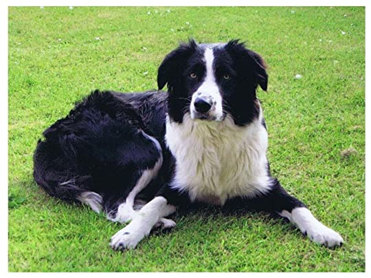 Collie - Reference Pictures, Images and Photos