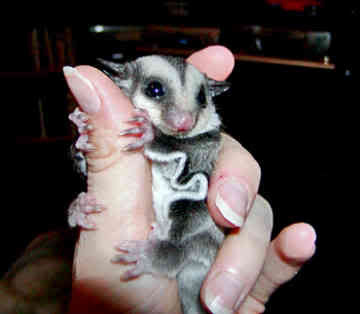 sugar glider Pictures, Images and Photos