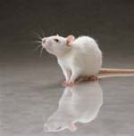 White Rat Pictures, Images and Photos