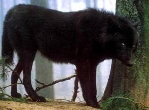 black wolf Pictures, Images and Photos
