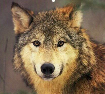 Golden Brown Wolf With Blue Eyes Mercy Falls - Characte...