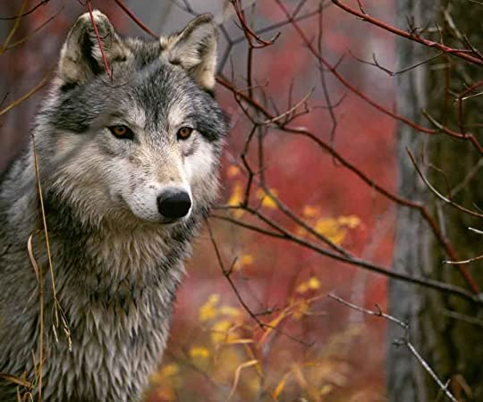wolves Pictures, Images and Photos