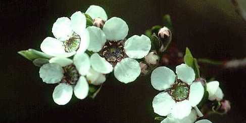 leptospermum-jingera-flowers2-small
