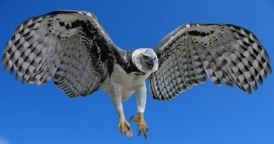 harpy eagle Pictures, Images and Photos