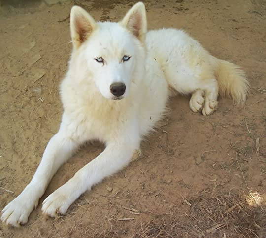 white wooly husky Pictures, Images and Photos
