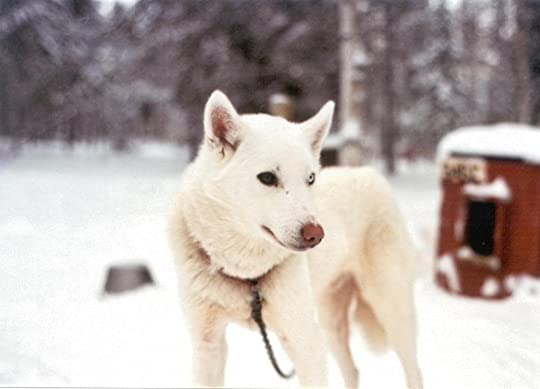 White Husky Pictures, Images and Photos