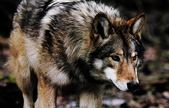 Wild wolves a wolf roleplay mist pack mist pack characters foeest leaves is a very color full wolf he has black brown gray tan and white patches of fur he has a big body build and weights about 100 pounds sciox Images