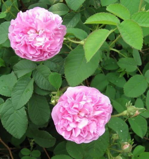 photo rose1.jpg