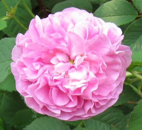 photo rose2.jpg
