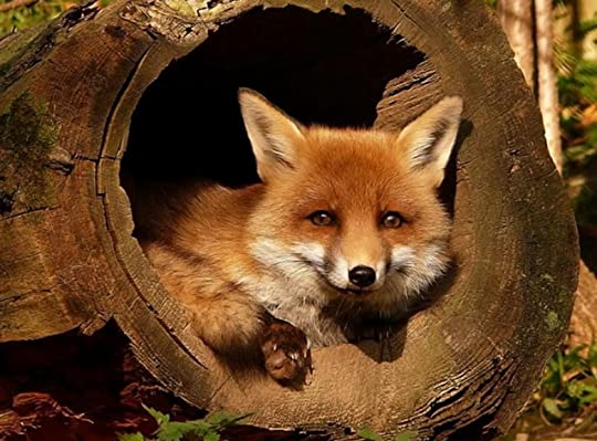 Cute fox photo Beautiful.jpg