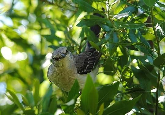 Angry Mockingbird