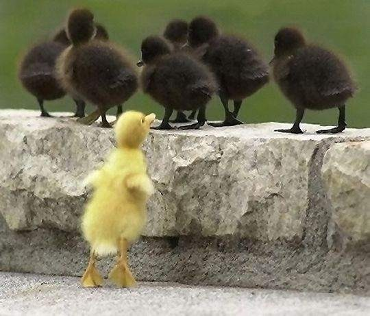 ducks/