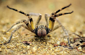 brazilian wander spider in attach mode