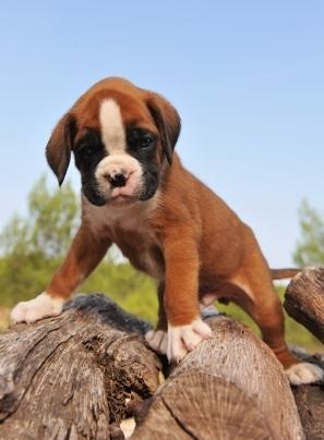 boxer puppy climbing rock