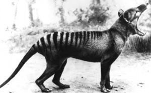 thylacine_01
