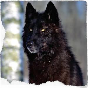 photo black-wolf_zpsec4cbd5b.jpg